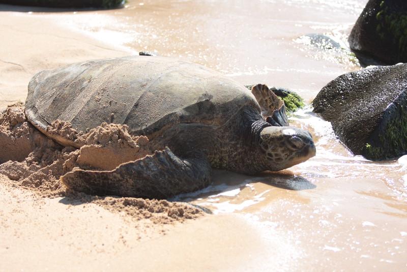 Turtles on Turtle Beach, Hawaii.