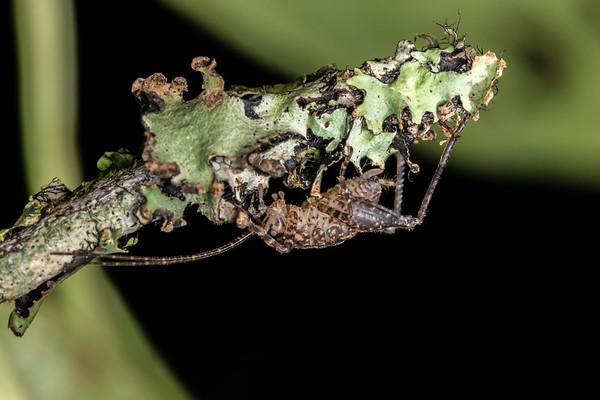 Unidentified Neonetus nymphs