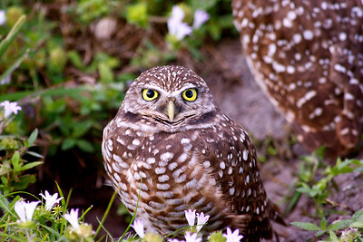 Burrowing Owls, Piccolo Park, Pembroke Pines, Fla., Dec. 3, 2013