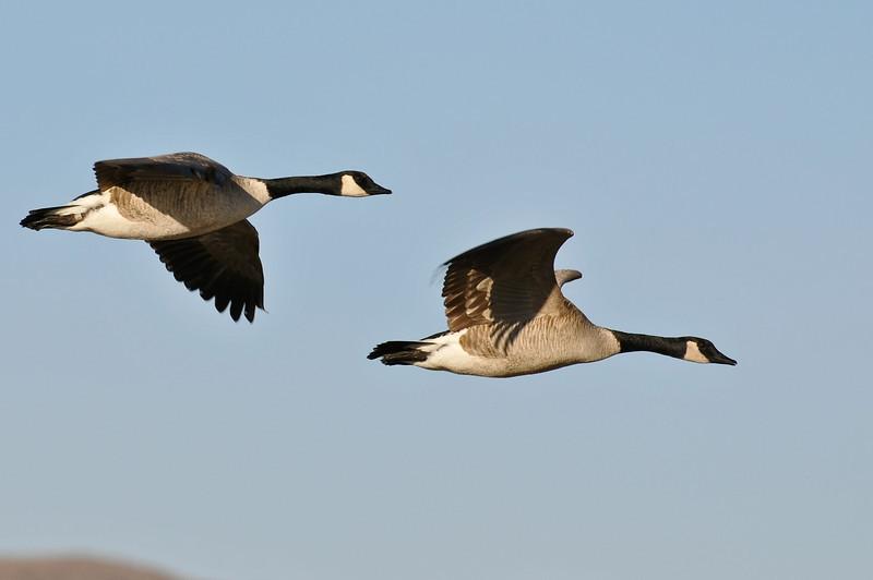 Canada geese, Bosque del Apache