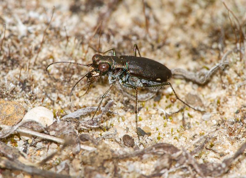 Cicindelidia punctulata Punctured Tiger Beetle Sauk Prairie Recreation Area WI  IMG_0228.jpg