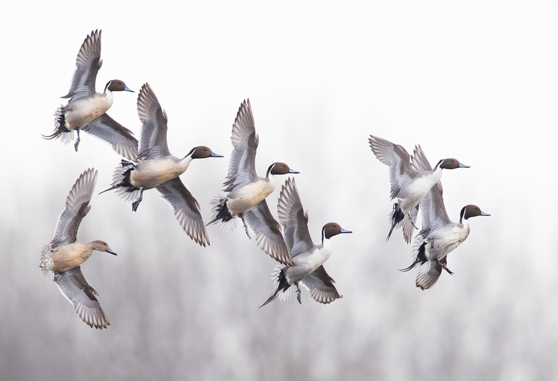WRPintail_2020_15.jpg