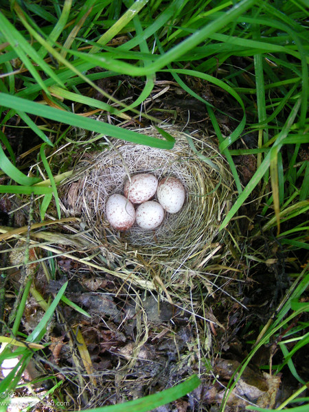 Slate-colored Junco nest