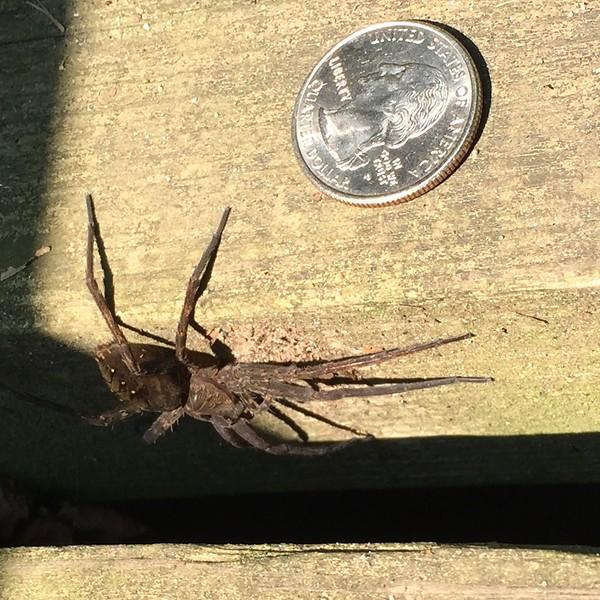 Fishing Spider, Hacklebarney Park