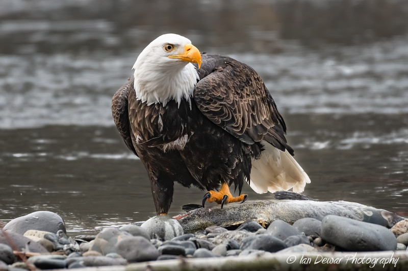 Bald Eagle standing on a Salmon
