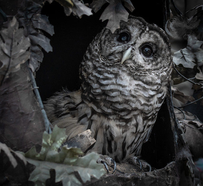 Barred Owl (Jonathan Wood owner)