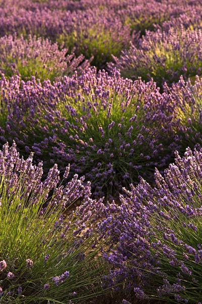 fans of lavender.jpg