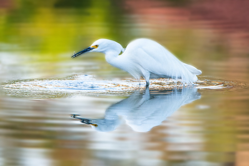 Egret_color_fish-4347clean.jpg