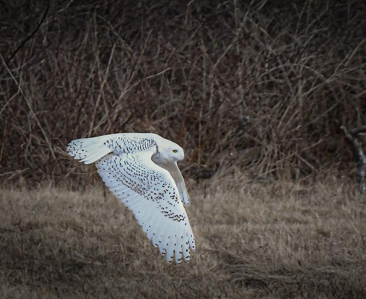 DSC_2437-Edit Snowy Owl Dive Bomber.jpg