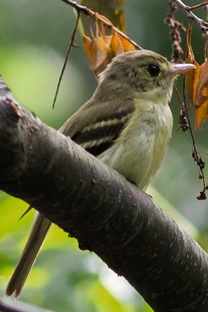 Acadian Flycatchers
