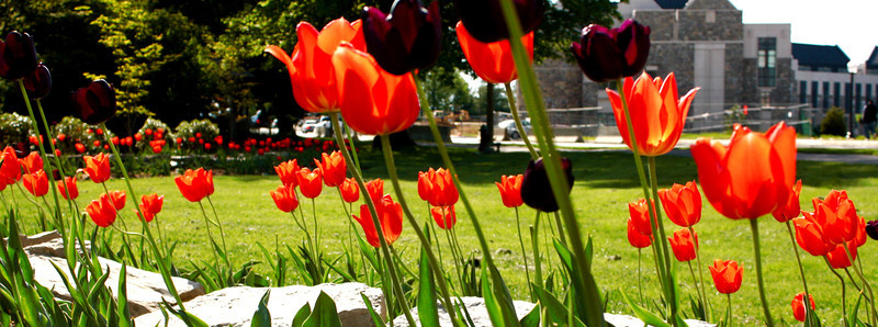 orange. tulip landscape.JPG