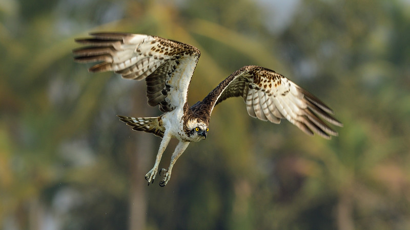 Osprey-take-off-goa.jpg