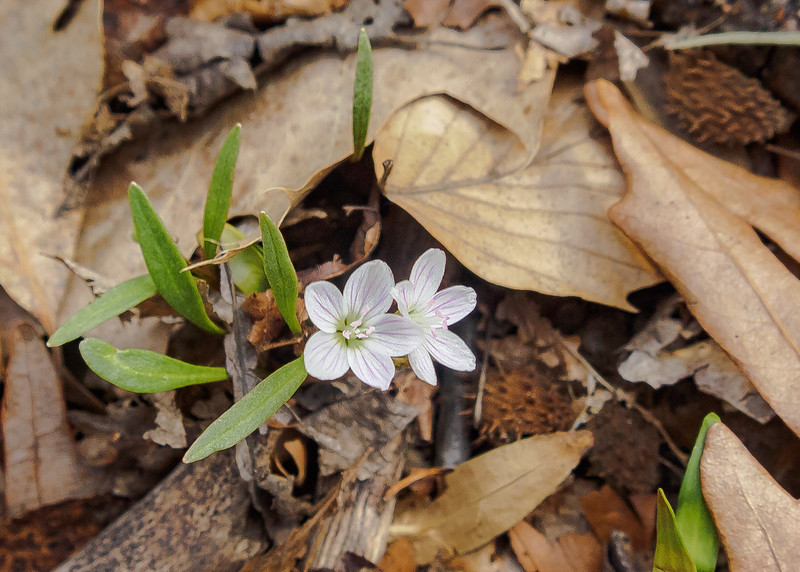 Spring Beauty (Claytonia virginica) flowers and plant at Potato Creek State Park, North Liberty, IN