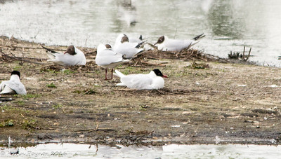 Whisby Nature Reserve 15-May16