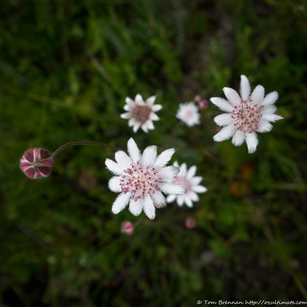 More Actinotus forsythii (Pink Flannel Flower) - can't resist!