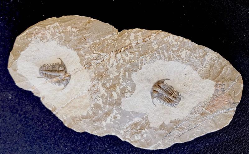 #8317 Double Cyphaspides sp. (3,2 & 2,9 cm)