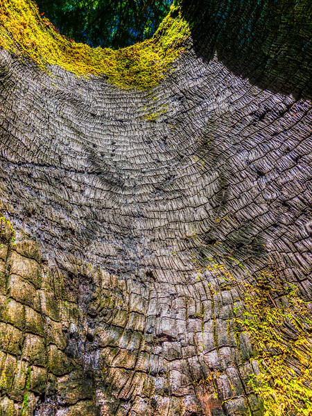 Burned Tree, Uvas Canyon County Park, Morgan Hill, California, 2010