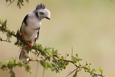Shrikes, Bush Shrikes & Helmet Shrikes,