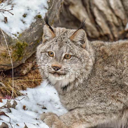 Lynxes and Bobcats