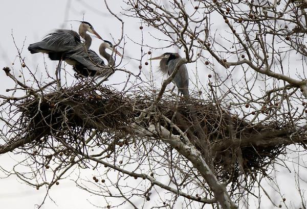 Heron Rookery 2011