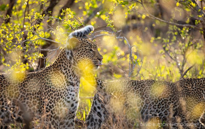 Sabi_Leopards_5479cc2fx-web.jpg