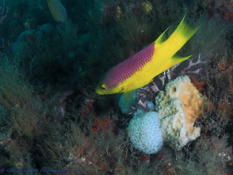 WPB-BHB-Aug 2015-SpanishHogfish-2-P8230079-pub.jpg