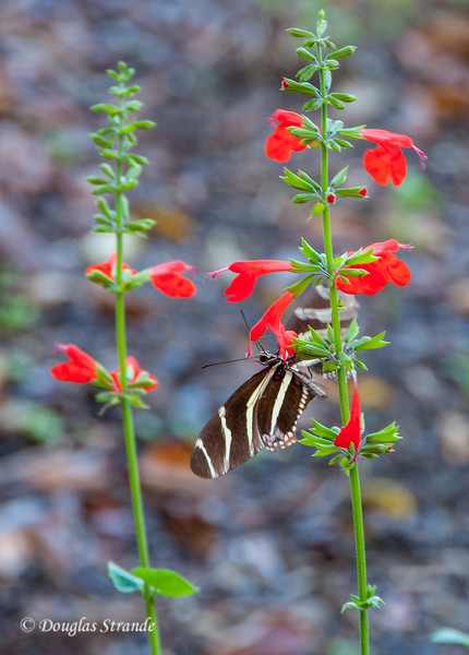 Zebra Longwing butterfly at Lovers Key Park