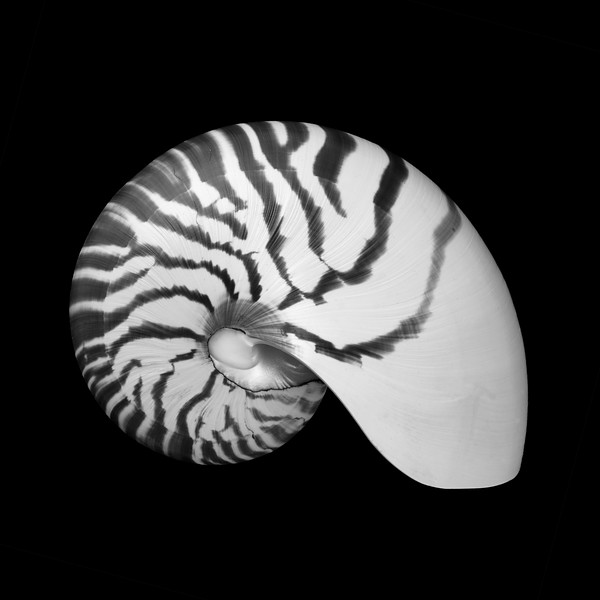Tiger Nautilus shell