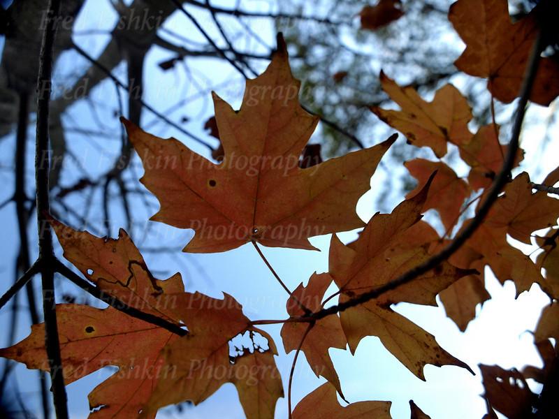 golden maple leaf.jpg