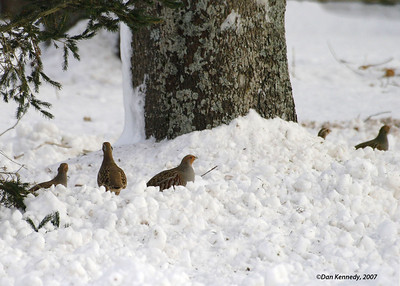 Upland Game Birds