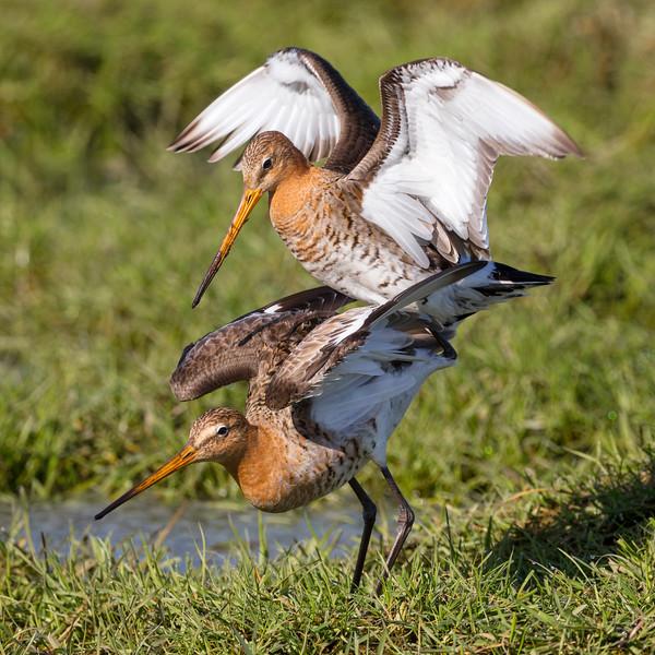 Fugle-KobbersneppeStor-LimosaLimosa-2018-05-06-_L8A0058-Danapix.jpg