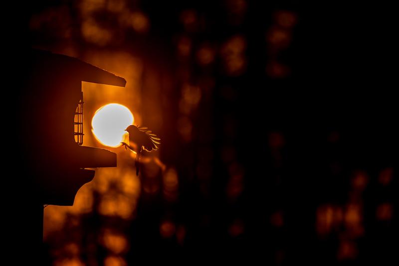 Black-capped Chickadee at feeder backlit backlighting Skogstjarna Carlton County MN  IMGC9254.jpg