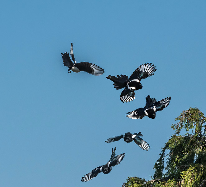 Magpie insect catch 56 57 58 59 3755.jpg