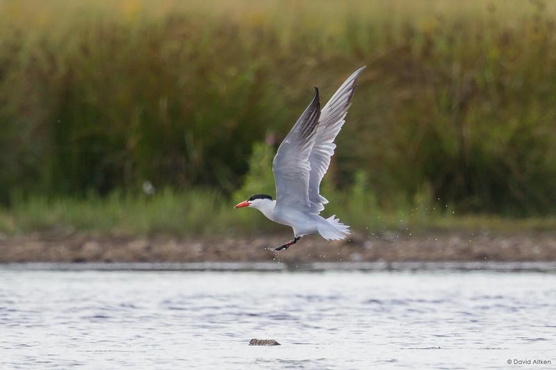 Caspian Tern - St Aidan's, Yorkshire 20/07/17