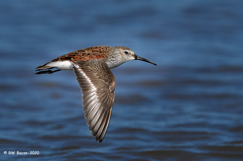 Dunlin on the wing 1.jpg