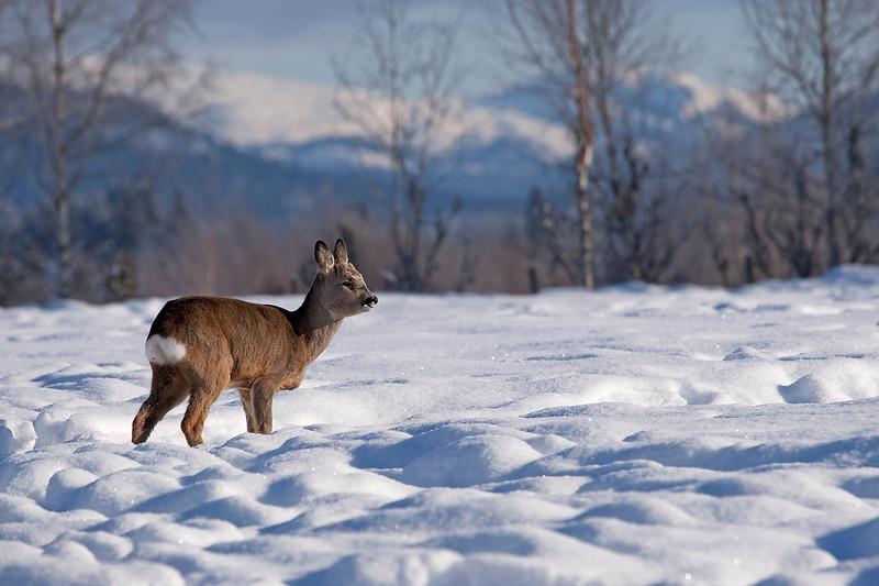 Roe deer 3.jpg