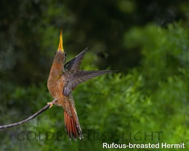Rufous-breasted Hermit, Trinidad & Tobago
