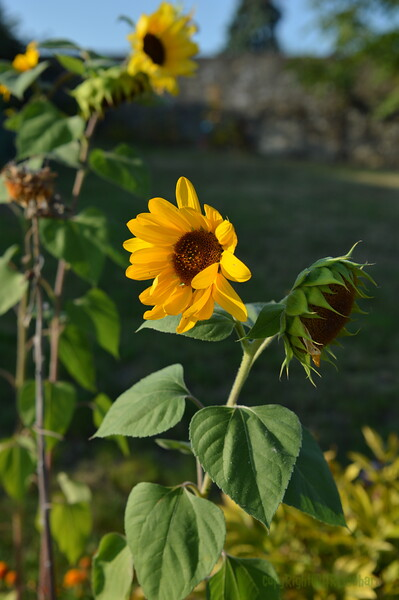 Sunflower Lonay_20092020 (11).JPG