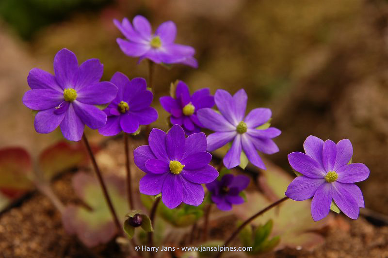 Hepatica 'Milstream Merlin'
