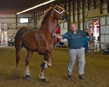 603 Jr Champion.Reserve Belgian Stallion