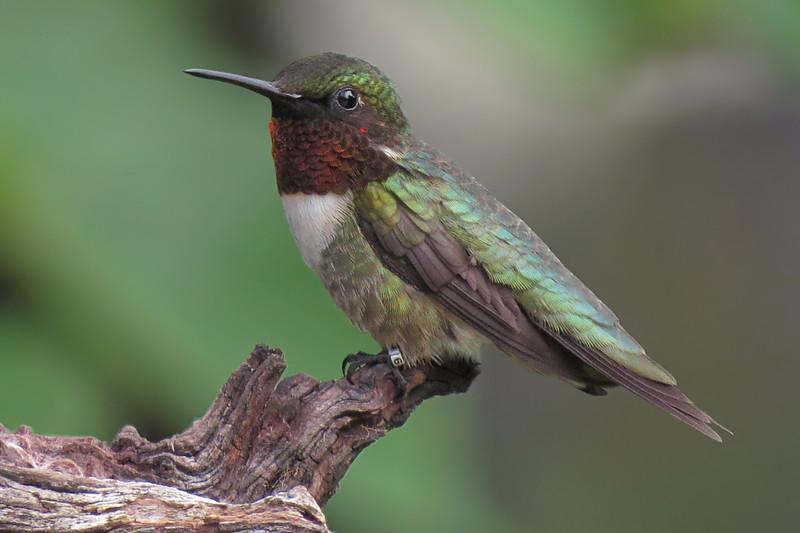 sx50_hummingbird_boas_banded_J44239_516.jpg