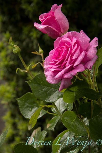 Rosa 06-01781 two_7042.jpg