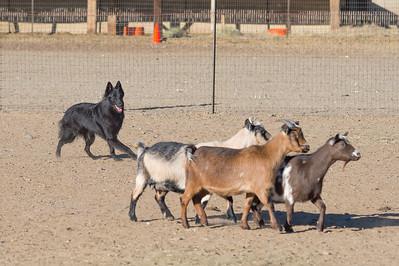 HT Goats