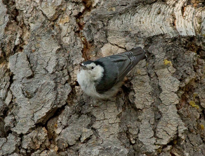 White-breasted Nuthatch Mammoth Lakes 2011 07 28-3.CR2