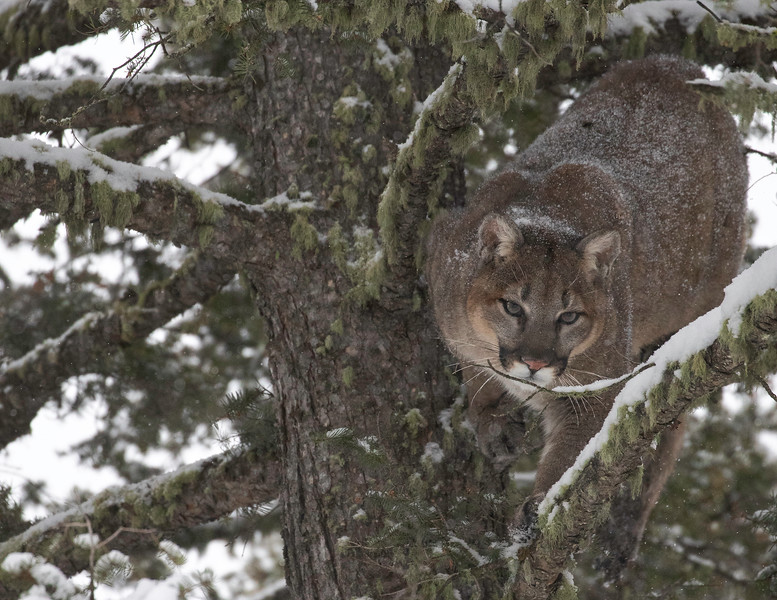 Mtn Lion looking straight while decending twig.jpg