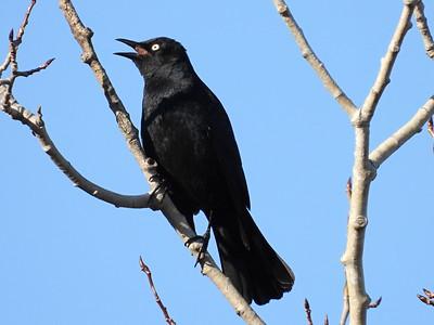 20200327 Rusty Blackbird