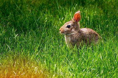 Lawn Bunny July 2020
