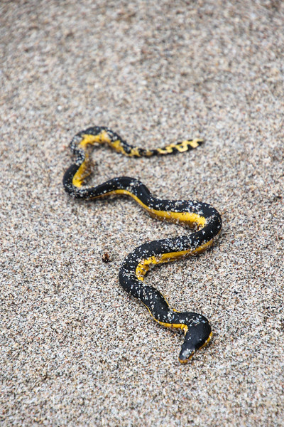 Yellow sea snake at the beach in Costa Rica