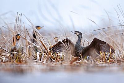 Kormorany / Cormorants