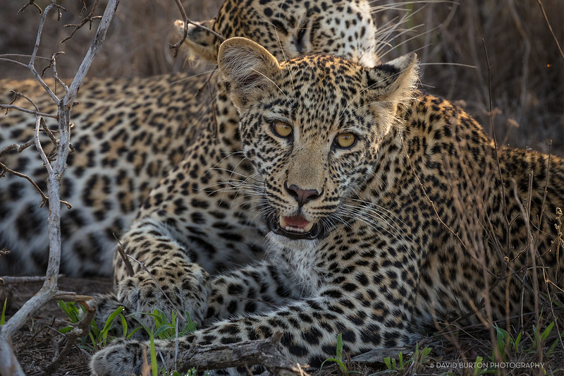 Sabi_leopards_5278cc2fx-crop-web.jpg